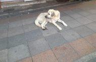 Kadıköy Tarihi Çarşı'da iri köpeğin , dostça sevgi gösterileri